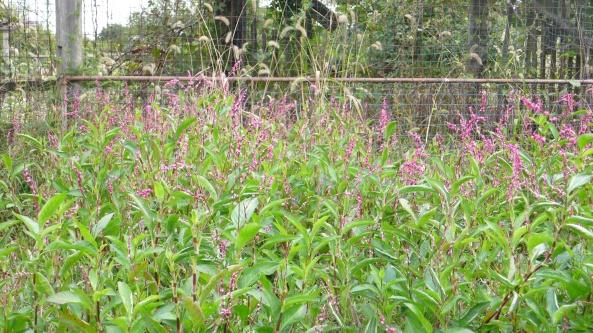 Persicaria tinctorium